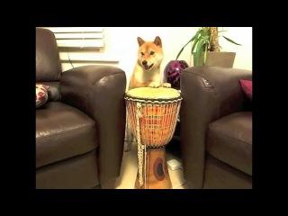 Чудеса дрессировки собаки породы Шиба-ину!