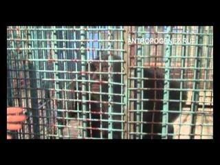 Встреча редакции АНТРОПОГЕНЕЗ.РУ с шимпанзе Джиной