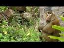 Панганские обезьяны знают толк в кокосах