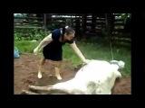 Cow Kicks Woman In Face!!!!