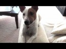 JACK RUSSELL TERRIER JRT -Dexter, crazy little dog in the big city Home 4