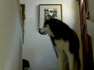 Large Siberian Husky