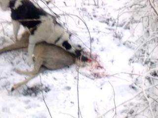 Охота на козу с лайкой