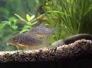 Reproduction corydoras sterbai