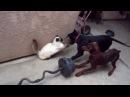 Dobermans Attack