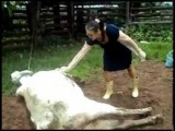 Cow Kicks Woman In The Jaw After Giving Birth Attack of The Show G4