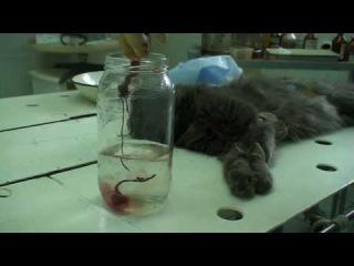 Овариогистерэктомия (стерилизации) кошки. Часть 3.