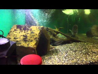 Fourth Video from Seattle Cichlid Club