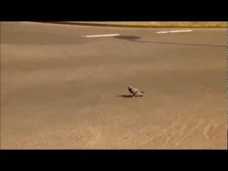 Chuck Norris' Pigeon