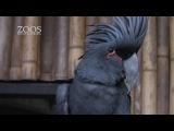 Впервые за сорок лет – птенец черного какаду