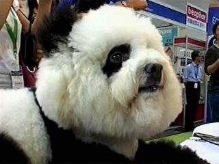 Креатив по-китайски: легким движением руки собака превращается в панду или тигра - Первый канал