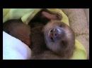 Поділіться з друзями милими коста-риканськими лінивцями:)