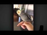 Попугай нимфа корелла поющий дабстеп! И это ХОРОШО