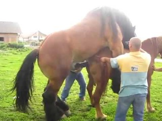 Спаривание лошадей тяжеловозов