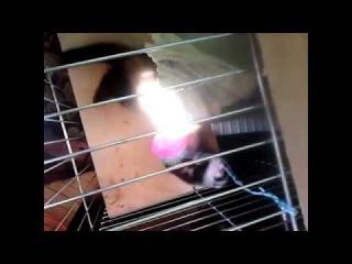 Смотрим видео про хорька, который пытается выбраться из клетки