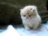 Персидский котёнок. Первые шаги