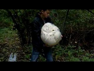 Грибы гиганты дождевик 6.4кг Сердобск