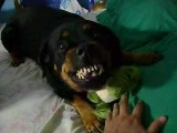 ROTTWEILER taking care of a BABY COCODRILE ALLIGATOR