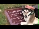 Собака плачет на могиле своего хозяина