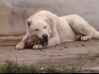 KURDISH KANGAL DOG The Strongest The Biggest of the World