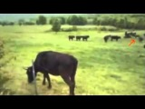 UFO ABDUCTION OF A COW - REAL OR FAKE??