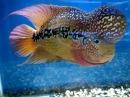 King Kamfa Flowerhorn @ Aquatic Central in S F