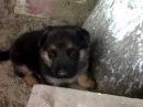 Хаски Кайзер (CayZer) и щенок немецкой Авчарки