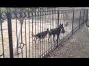 Хаски CayZer - Утро. (Сибирский Хаски/Siberian Husky)