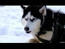 CayZer - Время Тигра (Siberian Husky/Сибирский Хаски)