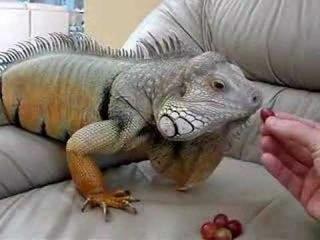 Iguana eating grapes