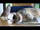 Наглый Голубь и Терпеливый Кот — смотреть онлайн видео, бесплатно!