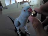 Ожереловый попугай разговаривает с колокольчиком
