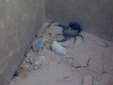 Camel Spider VS Black Scorpion