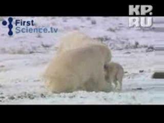 Белый медведь подружился с собаками