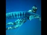 Spearfishing Wahoo - shark problems