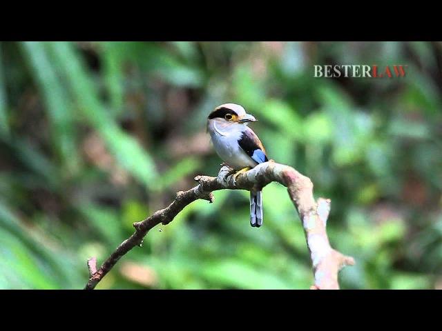 Серогрудый рогоклюв / Silver-breasted Broadbill / Serilophus lunatus