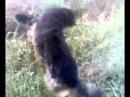 собачие бои мухтар против миши немецкая овчарка