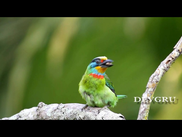 Чернобурый бородастик Black-browed Barbet or Müllers Barbet Megalaima oorti