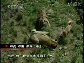 Turkish Kangal Dogs vs. Tigers & Lions