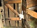The clever nanny goat. Умная коза. смешное видео.