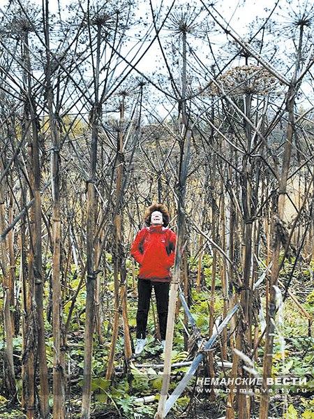 Неманские вести: Из маленького семени выросла большая проблема