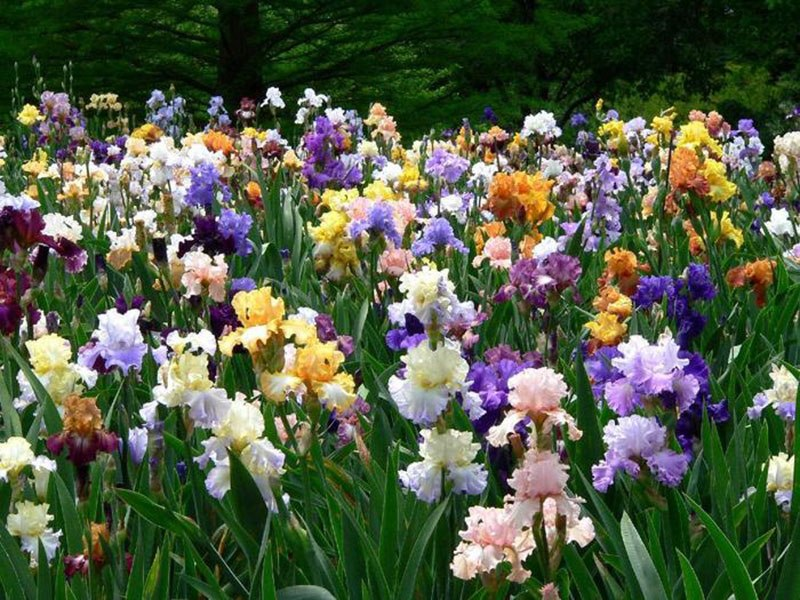 Ирисы-уход весной