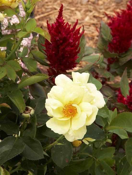 Цветник-красное и желтое