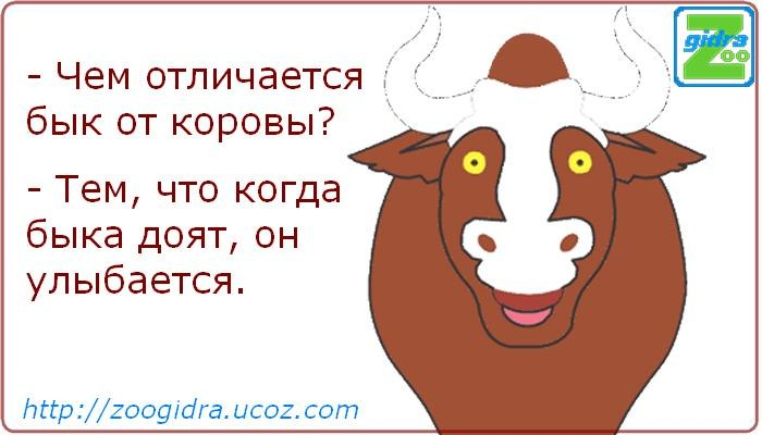 Анекдоты про быка, корову, год быка 2021