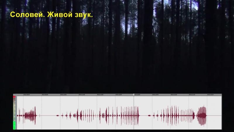 Соловей в ночном лесу. Живой звук, пел в трех метрах от автора. Один лишь соловей на весь лес...