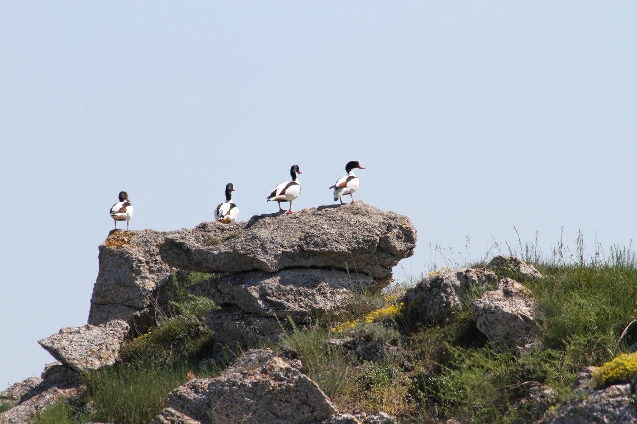 Пеганки в Казантипском заповеднике