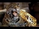Королева Леопардов Документальный Фильм National Geographic HD