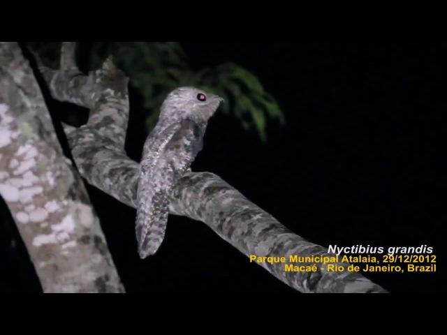 Исполинский козодой - Mãe-da-lua-gigante (Nyctibius grandis)
