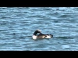 Гагара чернозобая / Gavia arctica / Black-throated Diver / Гагара чорношия