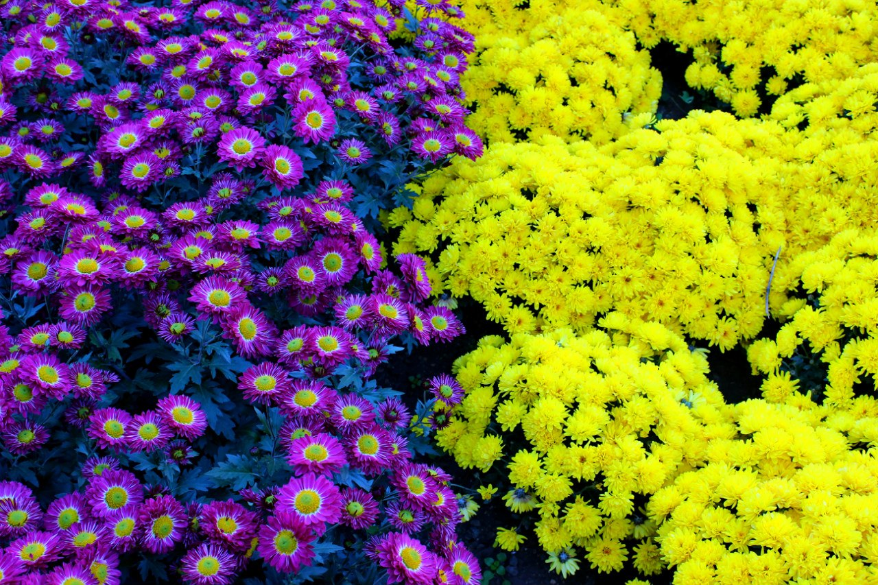 Парад хризантем в Крыму Никитский Ботанический сад Ялта